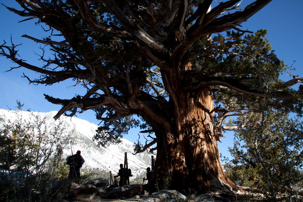 Ancient Mountain Juniper, Eastern High Sierra, CA